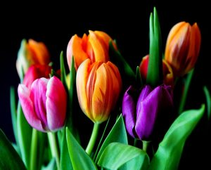 tulpen ontdekken